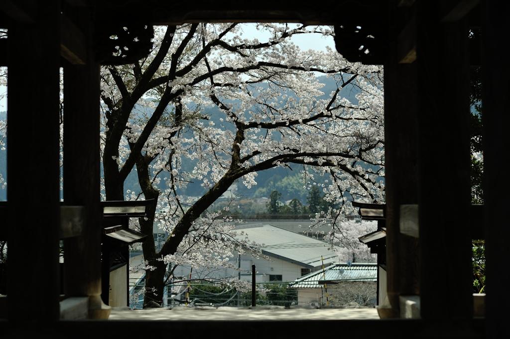 海禅寺の桜