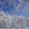 冬化粧のブナ林