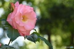 魅惑の薔薇 3