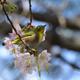 メジロとヒマラヤ桜4