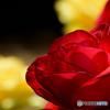 情熱の薔薇 2