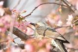 ヒヨドリとヒマラヤ桜