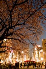 上野、大寒桜