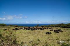 Hana Cows