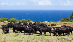 Cows and blue ocean