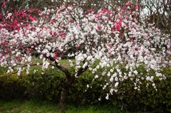 Exquisite plum flowers
