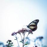 「浅葱斑の飛ぶ頃」