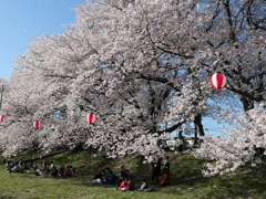 元荒川土手の桜6