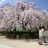 スマホー片手に桜をちら見
