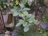 クルマバハグマ (1)