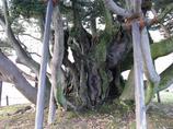シイノキの幹