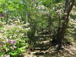 モチツツジの並木2