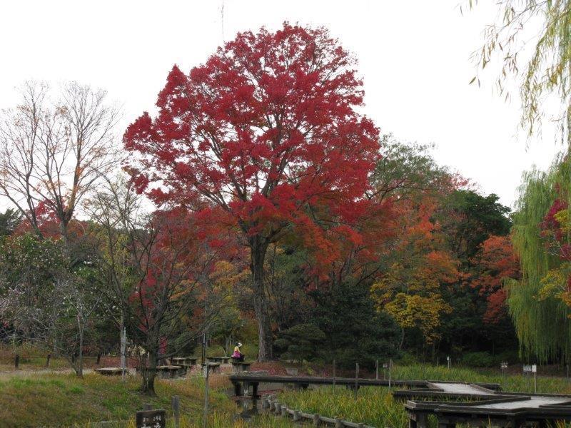 日本庭園ショウブ池