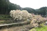 屏風岩公苑 桜