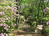 モチツツジの並木1