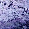 フィナーレ  (アメリカ桜)
