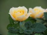ミニ薔薇 黄