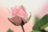 ミニ薔薇 桃