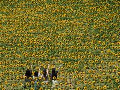 黄 向日葵娘
