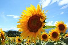 向日葵と日陰の蜂