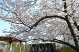 お墓参りと桜