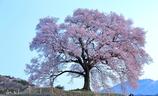 わに塚一本桜