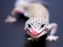 レオパ(ヒョウモントカゲモドキ)マックスノーエクリプス