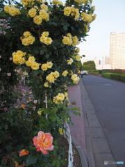 芝浦中央公園のバラ-1
