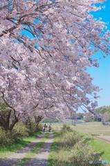 今井の桜2018-1