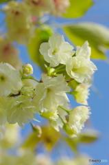 八重桜サトザクラ-3