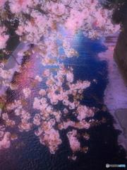 目黒川の桜-1