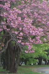 八重桜サトザクラ-4