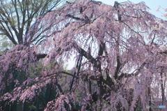 清瀧院の桜2018-1