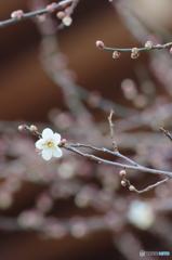 恒例。早咲きの梅