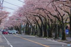 小金原の桜