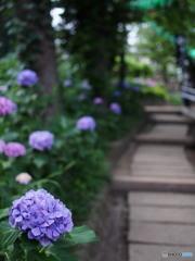 文京白山神社の紫陽花-1