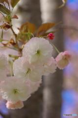 八重桜サトザクラ-2