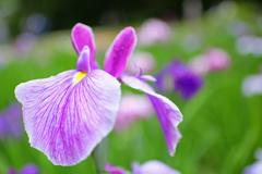 紫に魅せられて