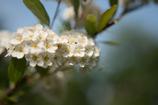 見知らぬ花の木