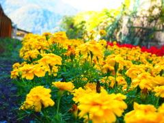 飛騨高山のお花