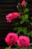ご近所の紅い薔薇