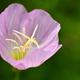 広沢池の桃色昼咲月見草