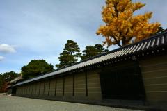 京都御所の銀杏
