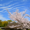 勧修寺・書院の桜