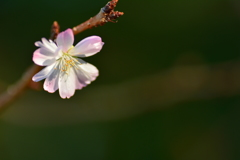 京都御苑の十月桜3
