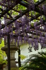 湊川神社宝物殿の藤棚