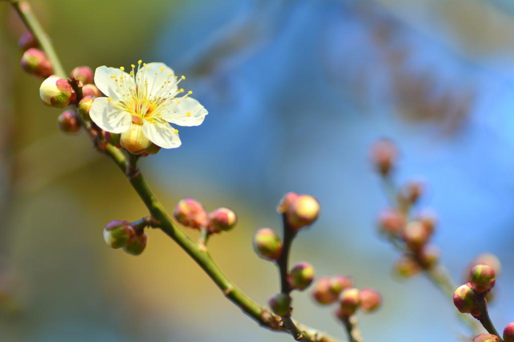 京都御苑・早春の魁