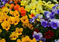 NIKON NIKON D7100で撮影した(税務署のお花畑1)の写真(画像)