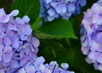 小学校の紫陽花