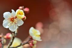 西院春日神社・真冬の梅1